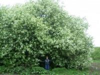 Черёмуховые деревья
